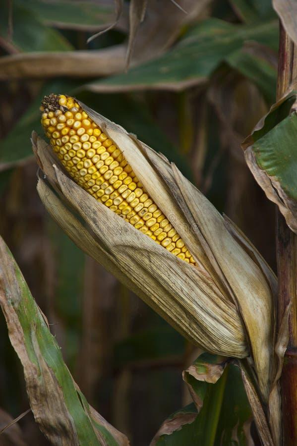 Secagem da orelha de milho no detalhe do close up de Cornstalk da exploração agrícola imagem de stock