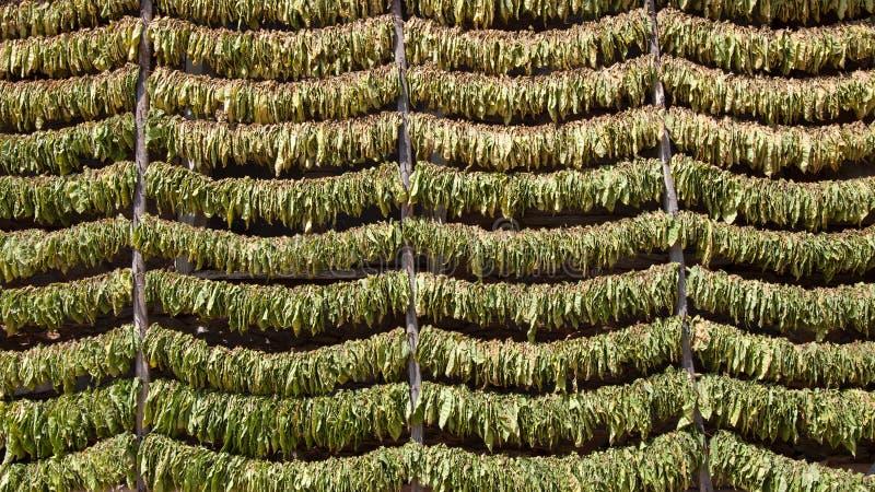 Secagem das folhas do cigarro fotos de stock royalty free