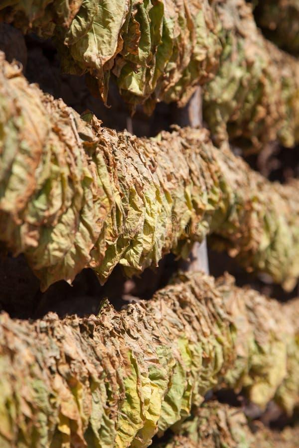 Secagem de muitas folhas do cigarro imagem de stock royalty free