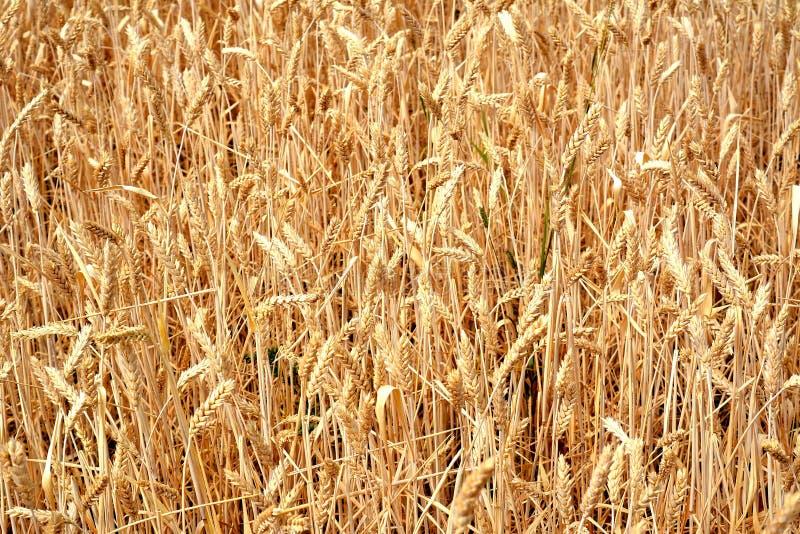 Secagem esquerda do trigo de Unharvested em um campo fotos de stock royalty free