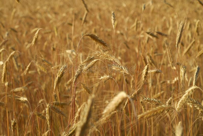 Secale cereal, Rye, Allergens Plants. Grain detail with grain royalty free stock photos