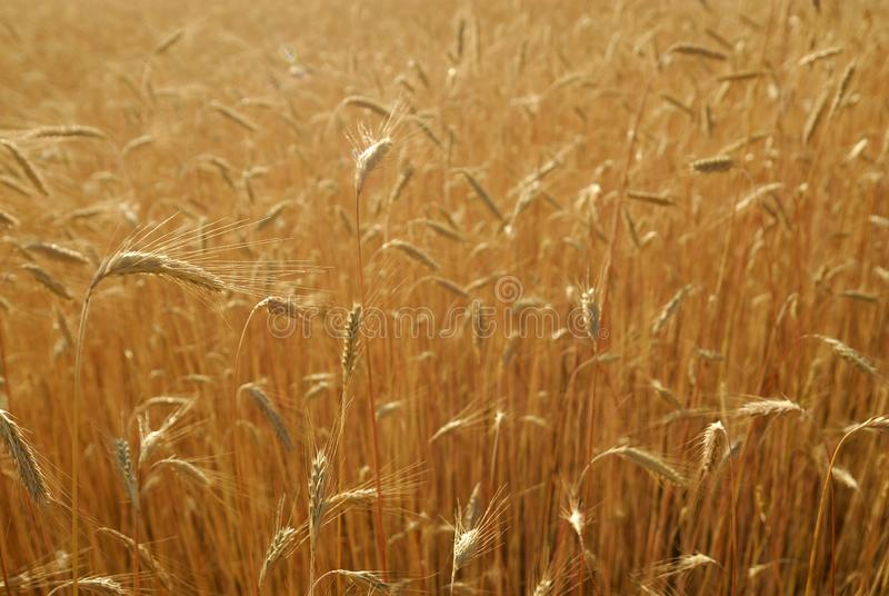 Secale cereal, Rye, Allergens Plants. Grain detail with grain royalty free stock image