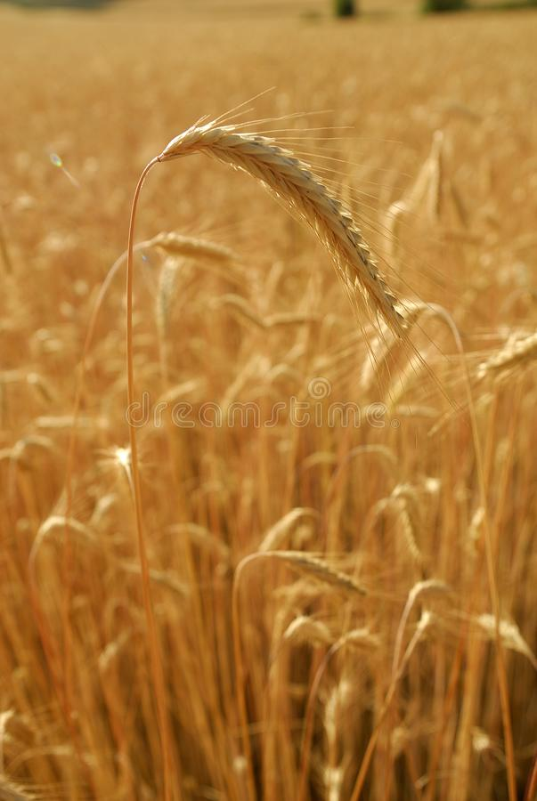 Secale cereal, Rye, Allergens Plants. Spike detail in cereal field royalty free stock image