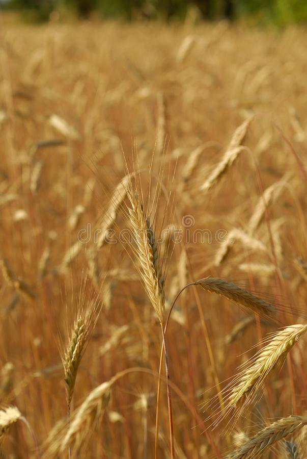 Secale cereal, Rye, Allergens Plants. Spike detail in cereal field stock image