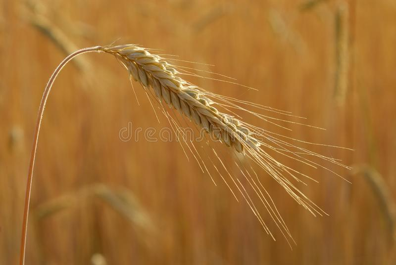 Secale cereal, Rye, Allergens Plants. Secale cereale, Rye, Allergens Plants, spike detail with grain royalty free stock images