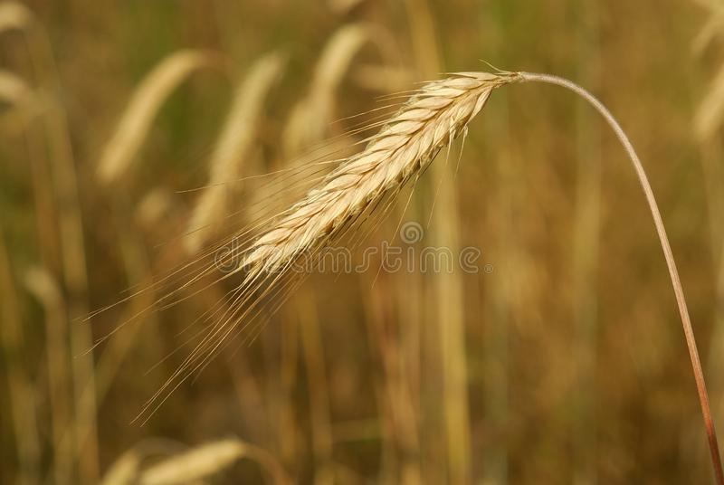 Secale cereal, Rye, Allergens Plants. 57/5000 stock photo