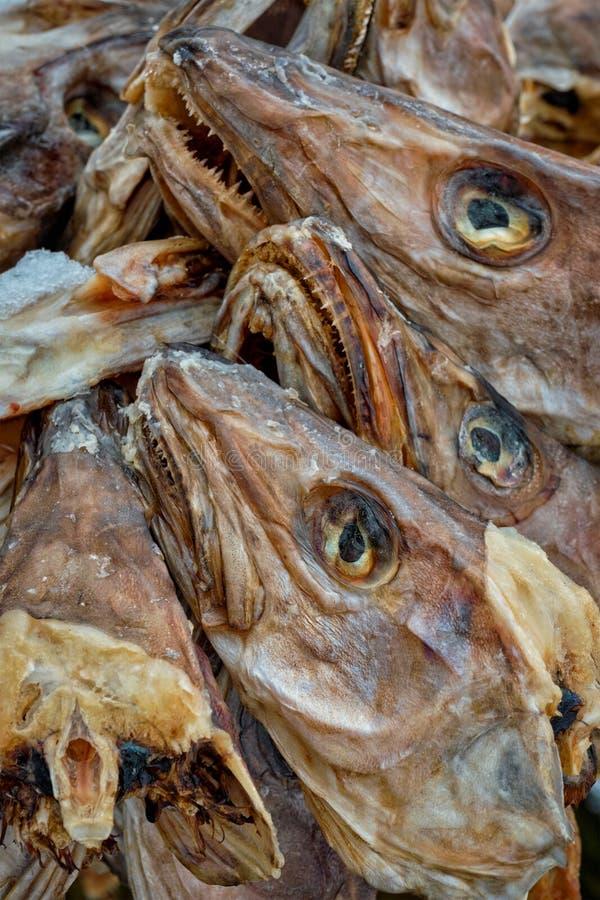 Secando as cabeças do bacalhau do peixe seco na aldeia piscatória de Reine em Noruega fotos de stock