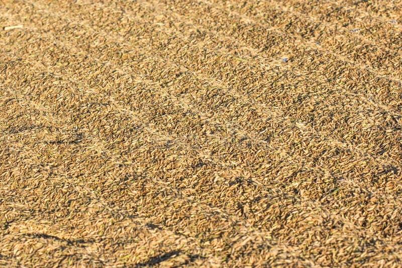 Secando o arroz colhido em um campo liso imagem de stock royalty free
