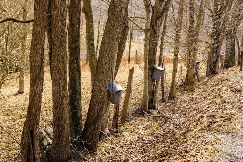 Secchi sugli alberi di acero che raccolgono linfa immagini stock