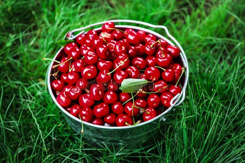 Secchio con la ciliegia matura fresca su erba verde fotografia stock libera da diritti