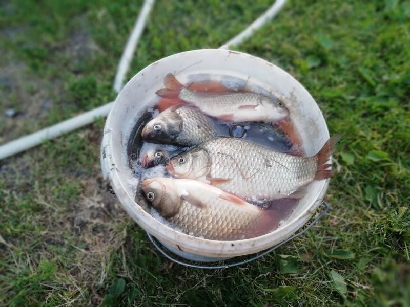 Secchio del pesce fotografia stock libera da diritti
