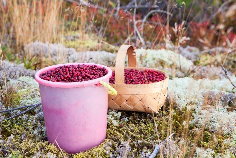 Secchio e canestro di plastica in pieno del mirtillo rosso rosso su un muschio nel legno careliano, Russia fotografia stock libera da diritti