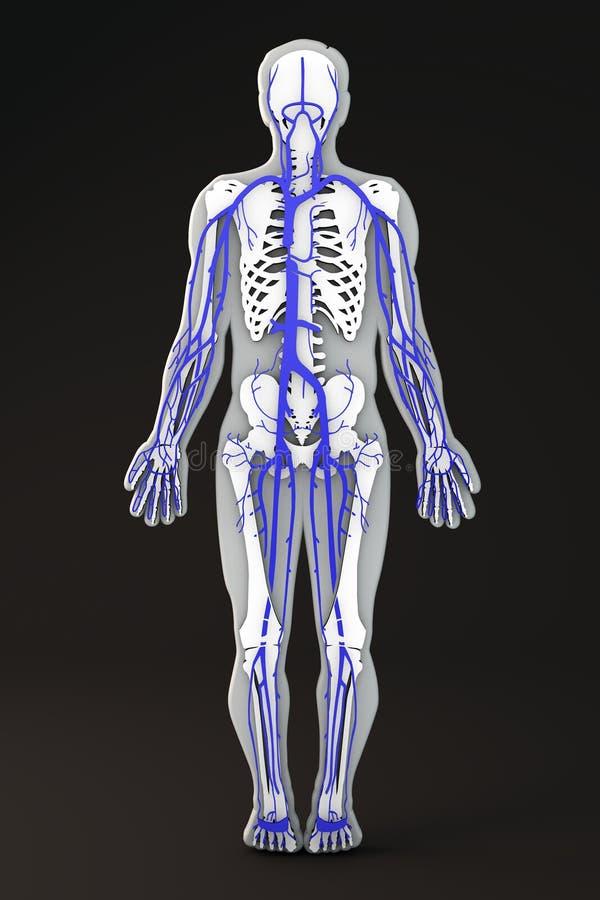 Excepcional Venas En El Diagrama De Cuerpo Humano Foto - Anatomía de ...