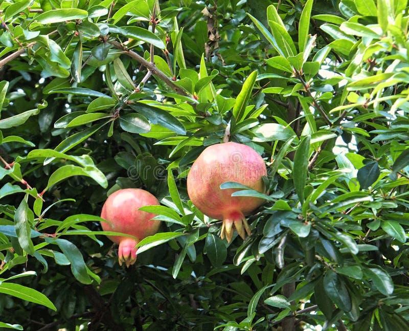 Sección de un árbol de granada con la fruta que consigue el ripeDetail de un árbol de granada con dos pedazos de maduración de la foto de archivo libre de regalías