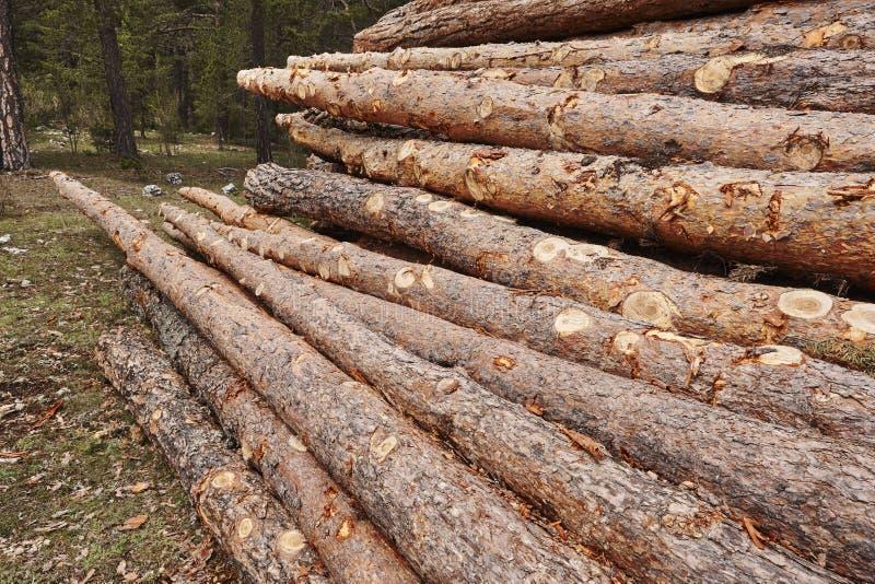 Sección del tronco de madera de pino apilada en la industria de la madera del bosque imagen de archivo libre de regalías