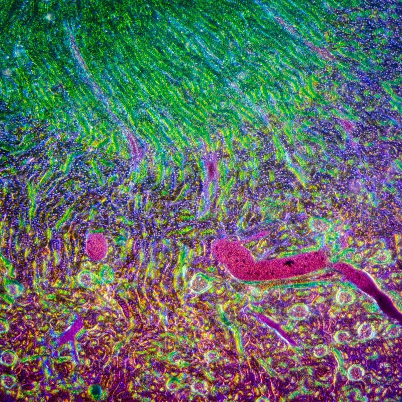 Sección microscópica del riñón humano fotografía de archivo