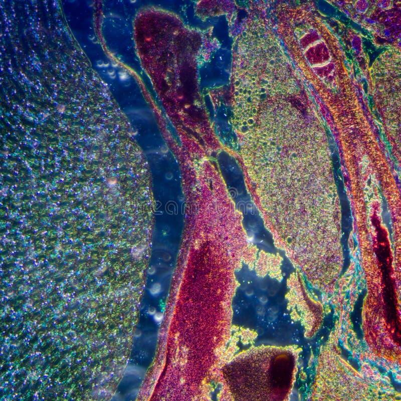 Sección microscópica del riñón humano foto de archivo