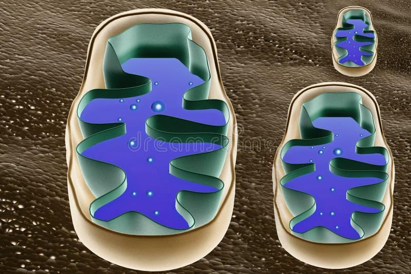 Sección representativa de Mitochondrion stock de ilustración