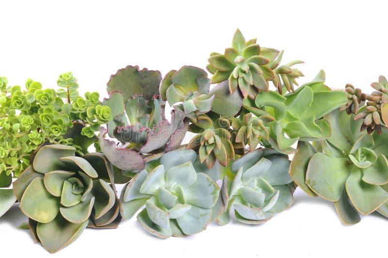 Secculents verdes imagens de stock
