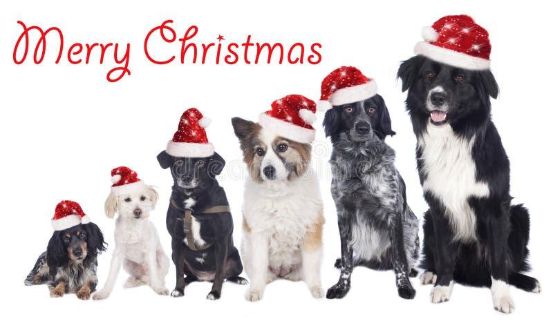 Sechs gemischte Zuchthunde in Folge mit Sankt-Hüten lizenzfreie stockfotografie