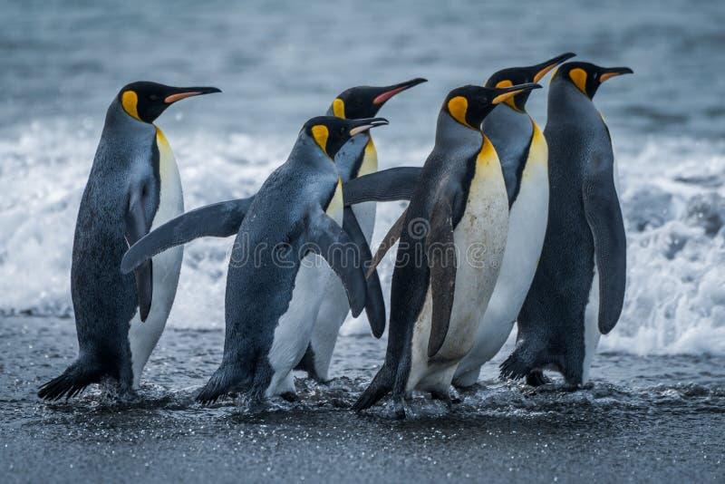 Sechs Königpinguine, die zusammen in Richtung zum Meer hetzen stockfotos