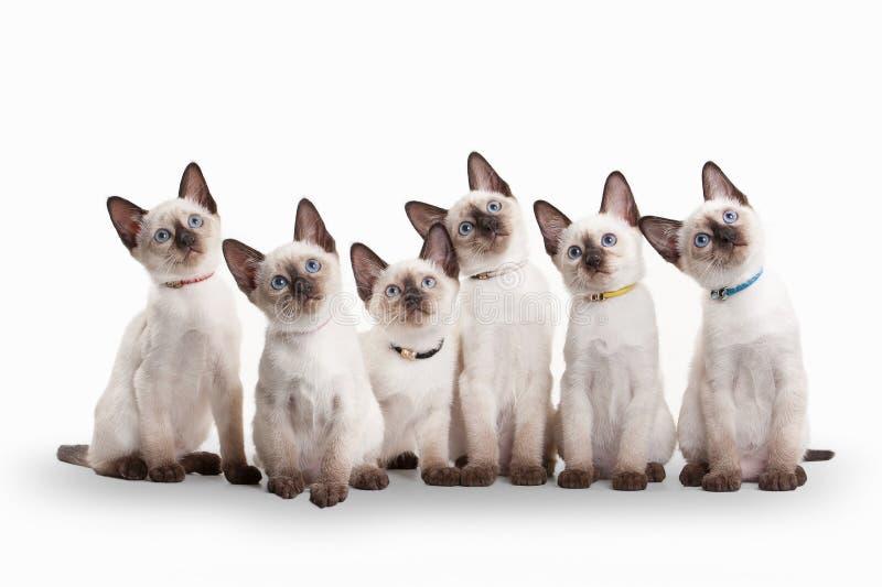 Sechs kleine thailändische Kätzchen auf weißem Hintergrund lizenzfreie stockfotografie