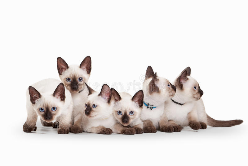 Sechs kleine thailändische Kätzchen auf weißem Hintergrund stockbild