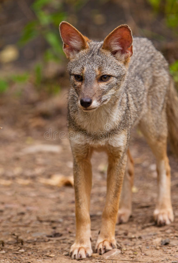 Sechuran Fox royalty free stock photo