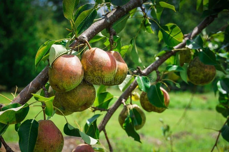 Seckel päron hänger på en trädfilial royaltyfri fotografi