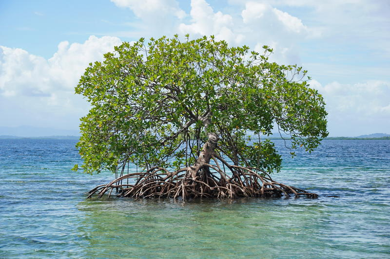 Secluded mangrove tree Rhizophora mangle in water. Secluded mangrove tree, Rhizophora mangle, in the water of the Caribbean sea, Panama, Central America stock images