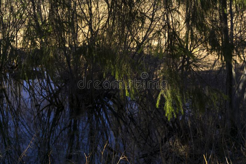 Secluded oxbow lake in the spring river valley. Covered with willow bushes and spruces, focus on sunlit spruce branches stock photo