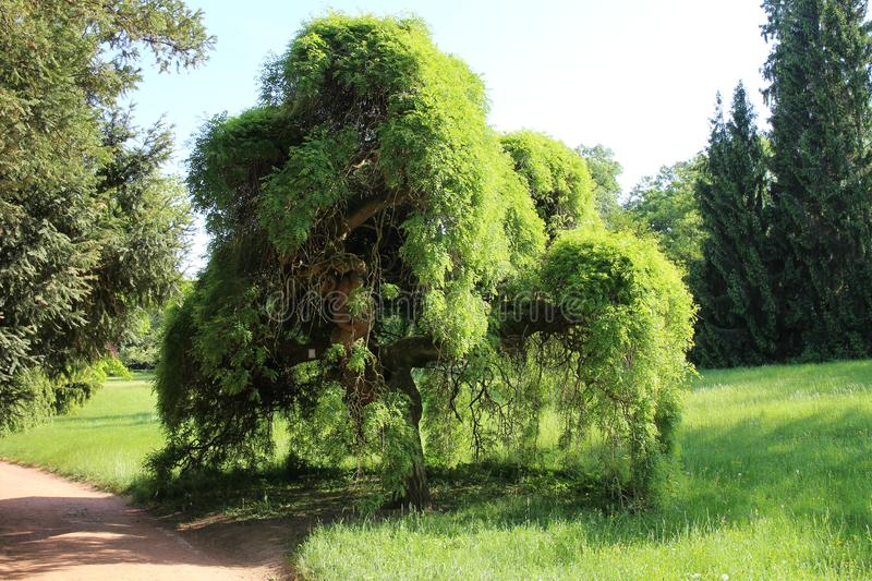 Seclusion with Sophora japonica Pendula in garden of Buchlovice castle. Czech republic royalty free stock images