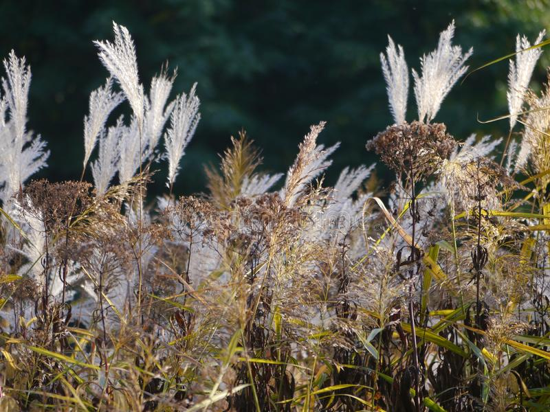 Seco floresceram para fora as gramas diferentes e as condições secas no primeiro plano, fundo muito fortemente borrado, fotos de stock royalty free