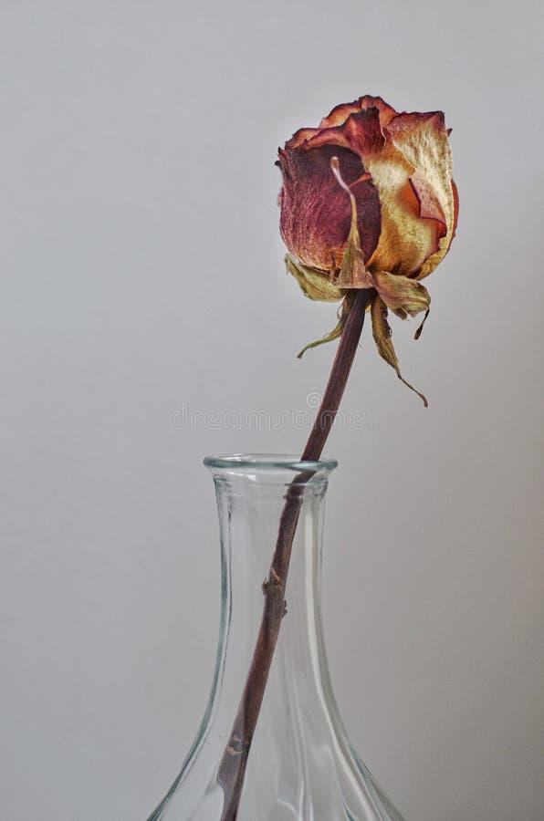 Seco subió en un florero en fondo gris fotos de archivo