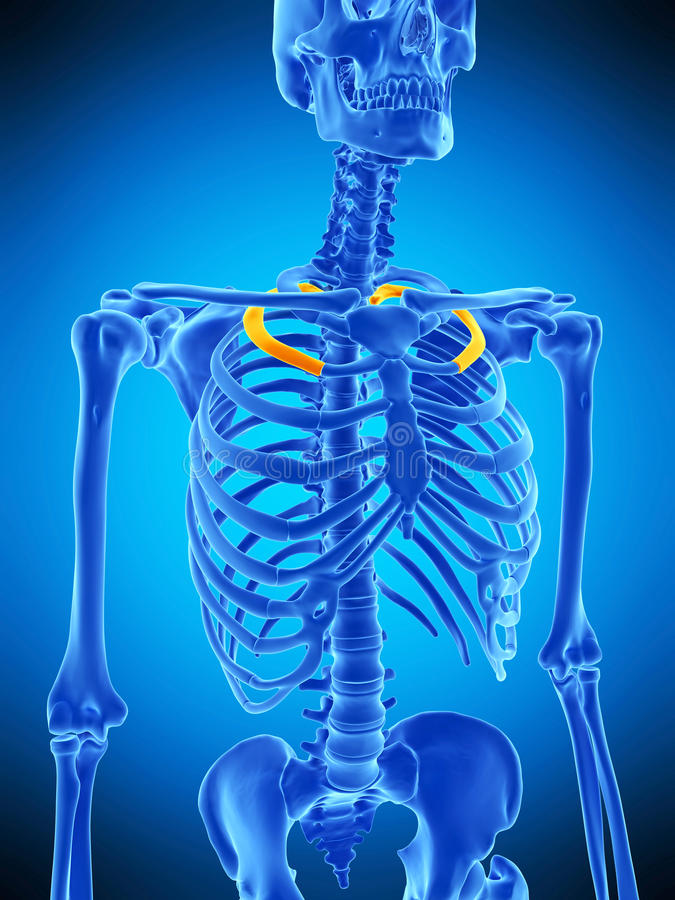 The second ribs. Medically accurate illustration of the second ribs vector illustration