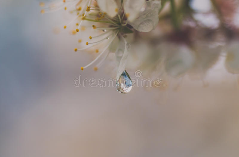 A Second in Time. Raindrops cling for but a fleeting moment on the fresh crabapple blossoms royalty free stock images