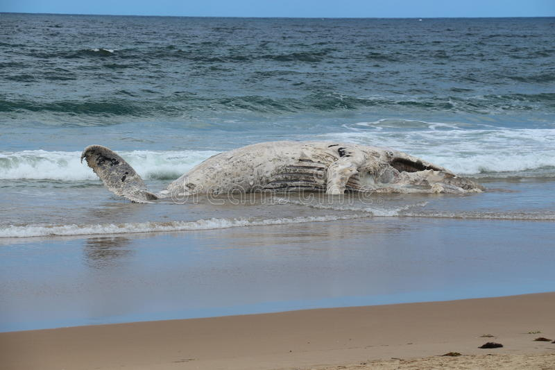 Second whale beaches itself on Broulee. A picture of a dead whale that beached itself on Broulee surf beach 17/01/15. This whale forced one of the most popular royalty free stock photo