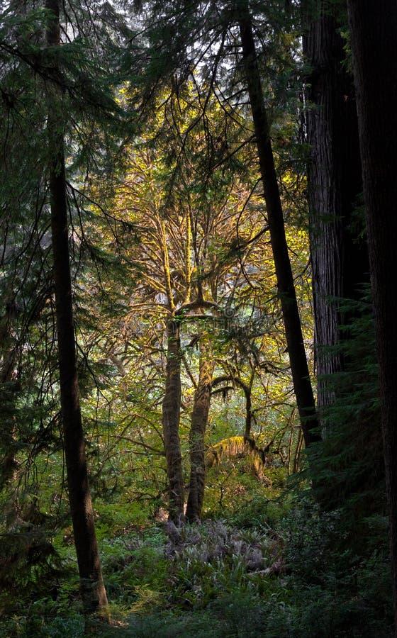 Secoya de costa del viejo crecimiento y árboles de arce grandes de la hoja fotografía de archivo libre de regalías