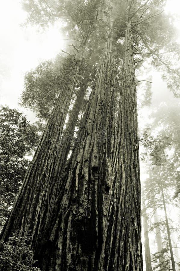 Secoyas en la niebla imagenes de archivo