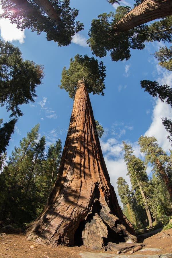 Secoyas gigantes del parque nacional de secoya foto de archivo