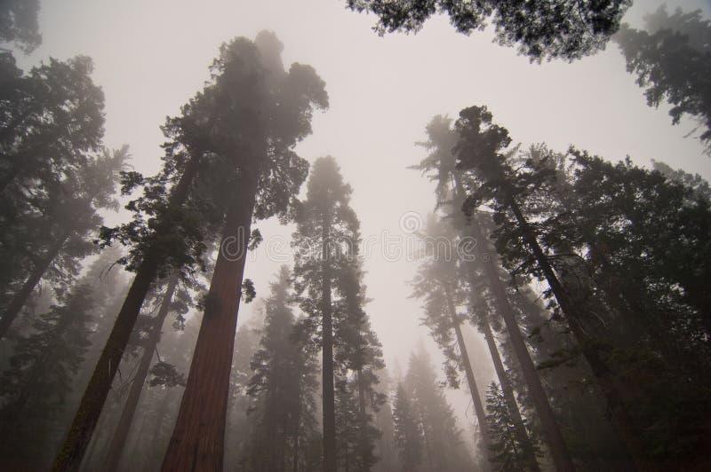 Secoyas gigantes en Yosemite foto de archivo libre de regalías