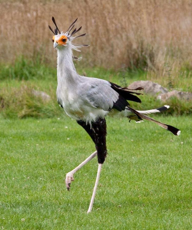 Secrétaire oiseau photos stock