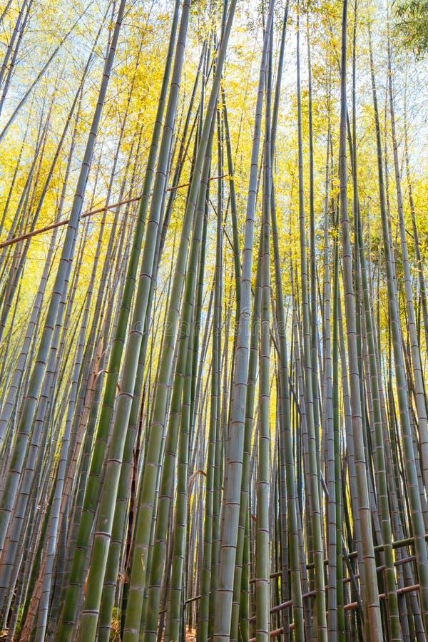 Secret Bamboo Forest of Fushimi Inari Shrine. The secret bamboo forest of Fushimi Inari Shrine on a warm spring day near Kyoto Japan royalty free stock photo