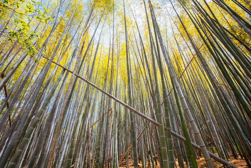 Secret Bamboo Forest of Fushimi Inari Shrine. The secret bamboo forest of Fushimi Inari Shrine on a warm spring day near Kyoto Japan stock photos