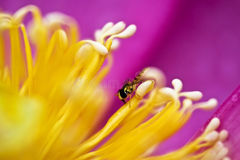 Download Secret of bee and bud stock photo. Image of details, closeup - 5757744
