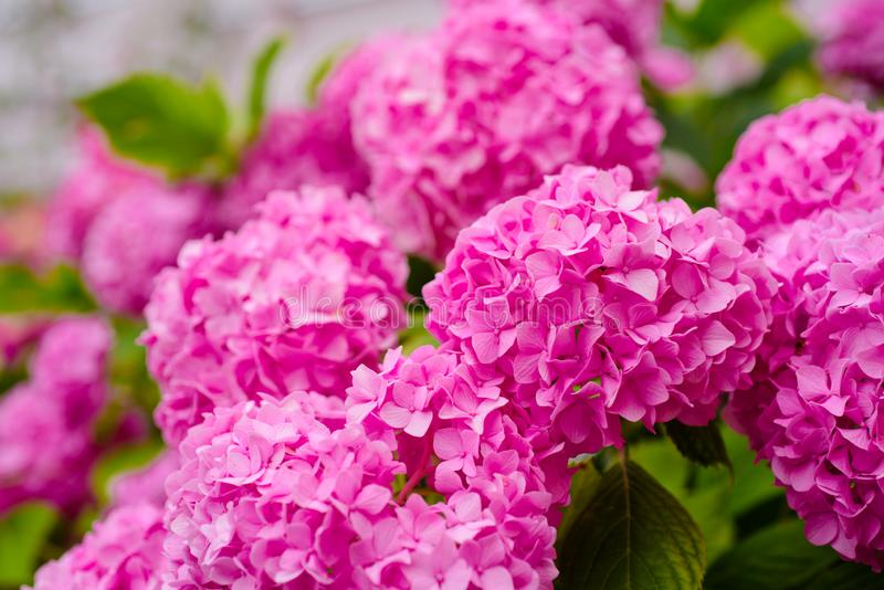 This secret garden is utterly dreamy. Showy flowers in summer. Hydrangea blossom on sunny day. Flowering hortensia plant. Blossoming flowers in summer garden stock images