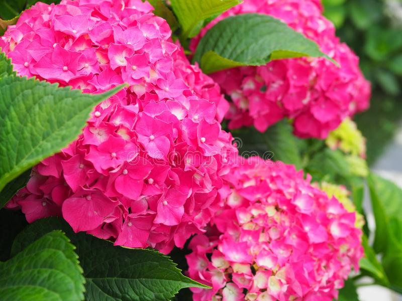 This secret garden is utterly dreamy. Showy flowers in summer. Hydrangea blossom on sunny day. Flowering hortensia plant. Blossoming flowers in summer garden royalty free stock photo