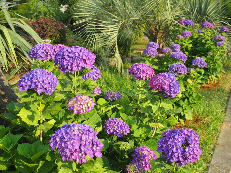 This secret garden is utterly dreamy. Showy flowers in summer. Hydrangea blossom on sunny day. Flowering hortensia plant. Blossoming flowers in summer garden stock photo
