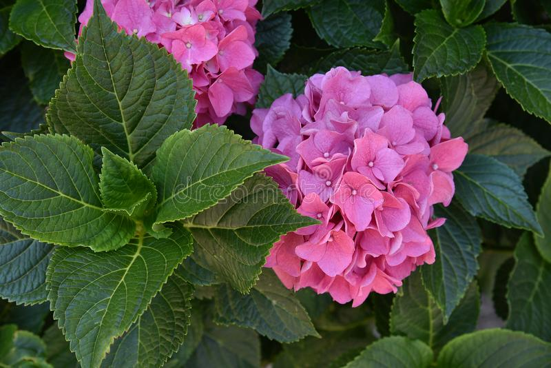 This secret garden is utterly dreamy. Showy flowers in summer. Hydrangea blossom on sunny day. Flowering hortensia plant. Flowering hortensia plant. Blossoming royalty free stock photography