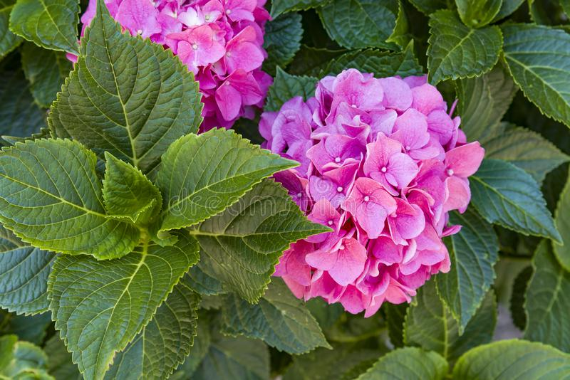This secret garden is utterly dreamy. Showy flowers in summer. Hydrangea blossom on sunny day. Flowering hortensia plant. Flowering hortensia plant. Blossoming royalty free stock photo
